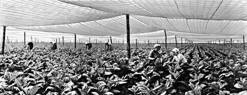выращивание табака